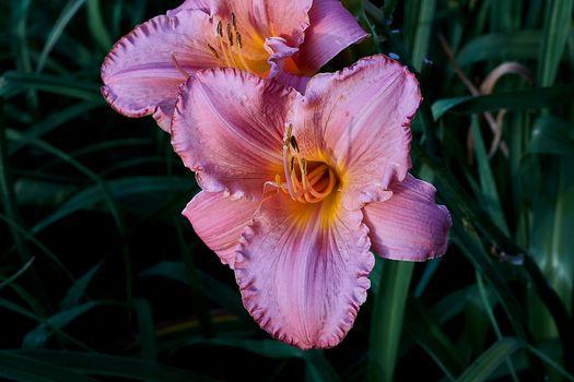 Фото бесплатно цветы, лилии, флора