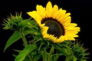 Фото бесплатно подсолнух, цветок, цветы