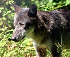 Фото бесплатно старый волк, трава, лес