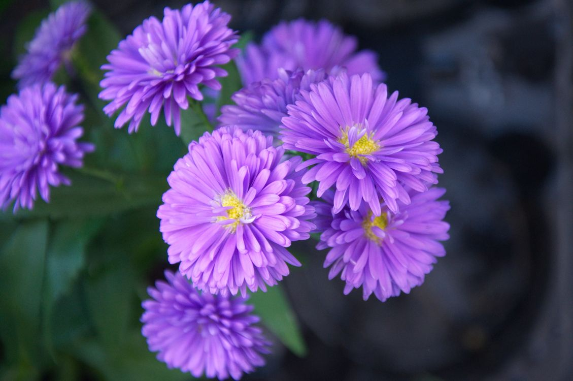 Free photo Ageratum, flowers, macro - to desktop