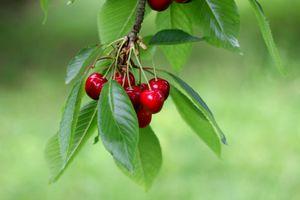 Заставки ветка,вишни,ягоды,листья,плоды,природа