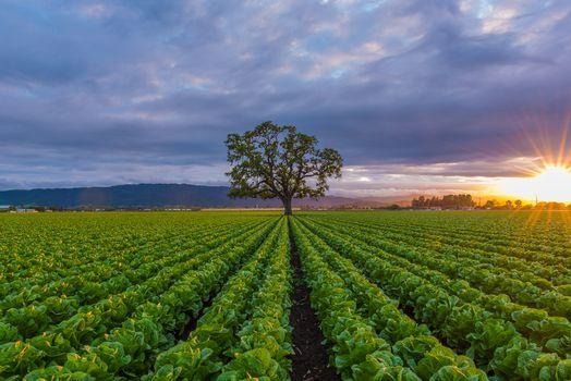 Фото бесплатно поле, закат, капуста