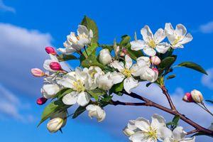 Ветви яблони весной