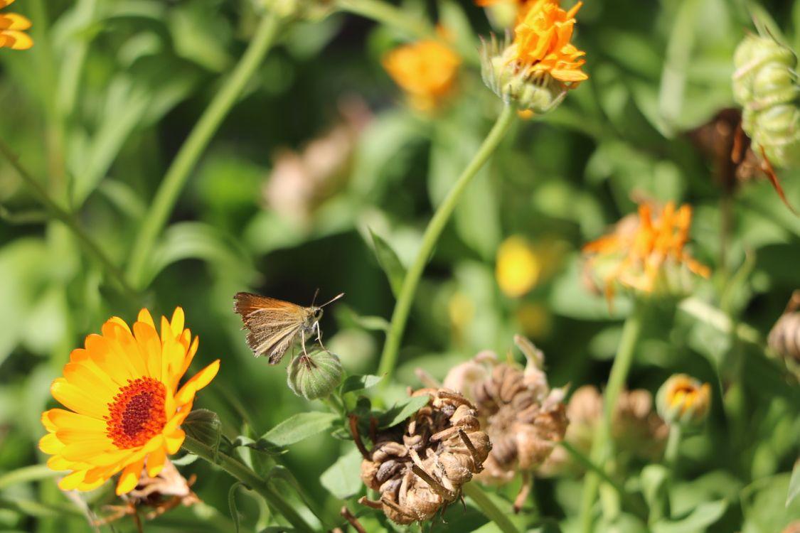 Фото бесплатно бабочка, лето, крупным планом, оранжевый, цветок, насекомое, солнечно, Синтия подрода, растение, опылитель, бабочки и бабочки, пыльца, нектар, календула, цветущее растение, насекомые