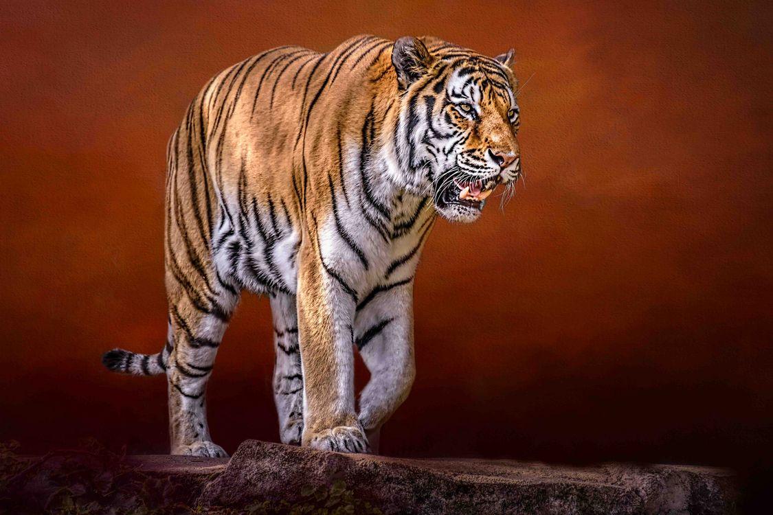 Свирепый тигр · бесплатная заставка