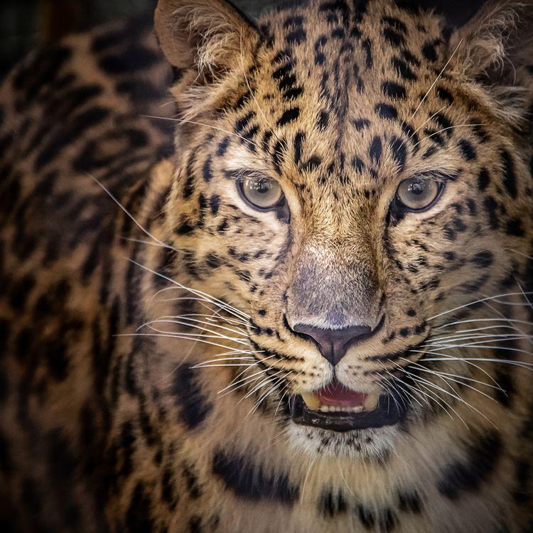 Фото бесплатно Амурский леопард, Panthera, леопард - на рабочий стол