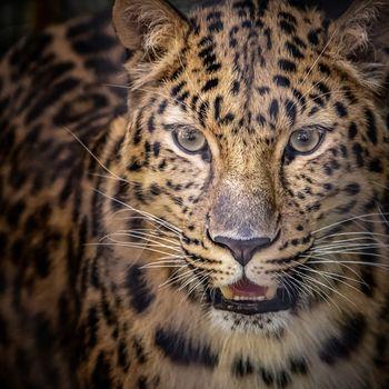 Photo free The Amur leopard, Panthera, leopard