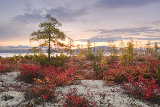 Larch at sunrise · free photo