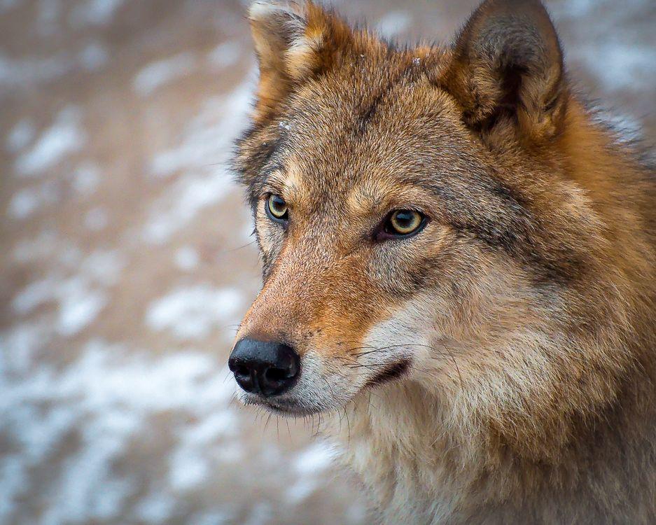 Фото бесплатно волк, хищник, морда - на рабочий стол