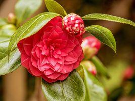 Photo free camellias, flower, flora