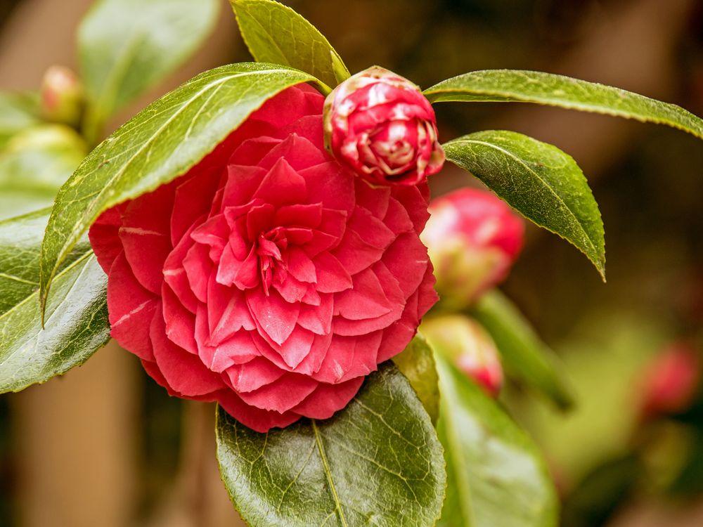 Фото бесплатно камелии, цветок, флора - на рабочий стол