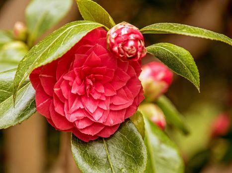 Бесплатные фото камелия,бутон,цветок,камелии,цветы,цветение,ветка,флора
