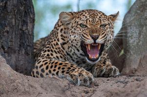 Леопард Злой · бесплатное фото