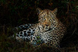 Леопард в траве укрылся