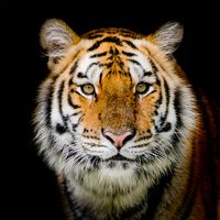 Photo free an animal, a cat family, a portrait of a tiger
