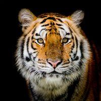 Заставки животное, семейство кошачьих, портрет тигра