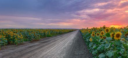 Фото бесплатно панорама, подсолнух, закат