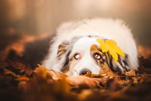 Аусси с желтым осенним листком · бесплатное фото