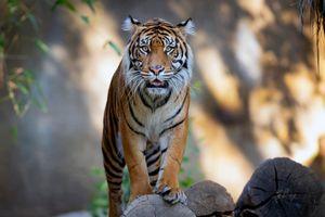 Фото бесплатно большая кошка, хищник, животное