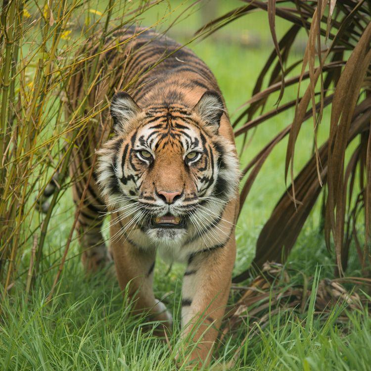 Фото бесплатно тигр, хищник, животное, большая кошка, походка, взгляд, животные