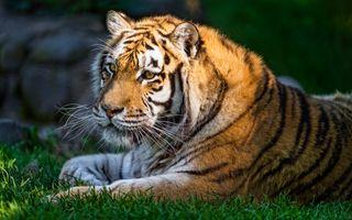 Заставки фон, хищник, тигровые тигры