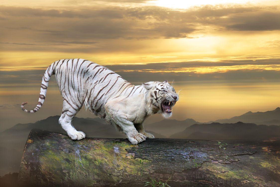 Обои животное, белый тигр, закат картинки на телефон