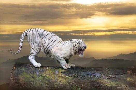 Заставки животное, белый тигр, закат