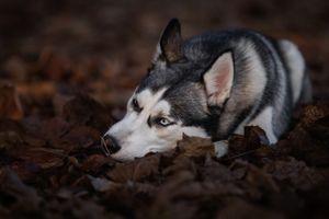 Хаски лежит на осенней листве