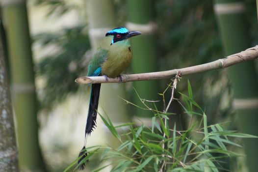 Фото бесплатно амазонский момот, птиц, стоя