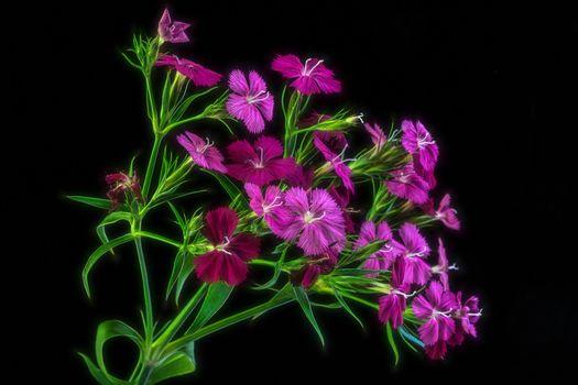 Фото бесплатно цветы, гвоздики, флора