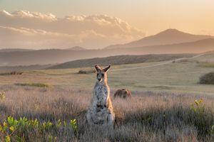 Фото бесплатно кенгуру, kangaroo, Australia