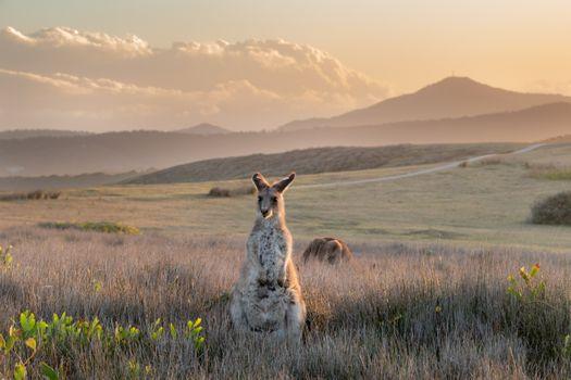 Заставки кенгуру, kangaroo, Australia