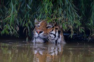 Фото бесплатно хищник, Amur tiger, большая кошка