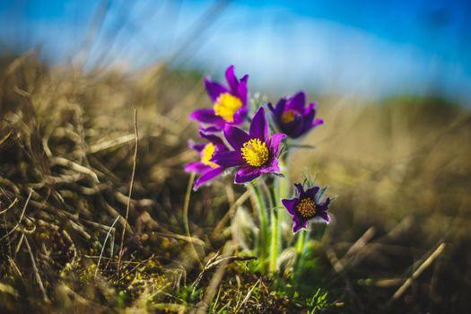 Фото бесплатно анемона, цветки фиолетовые, размытие