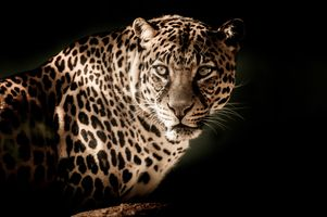Photo free view leopard, look, predator