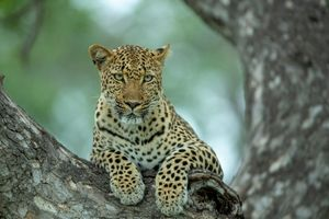 Wallpaper leopard · free photo