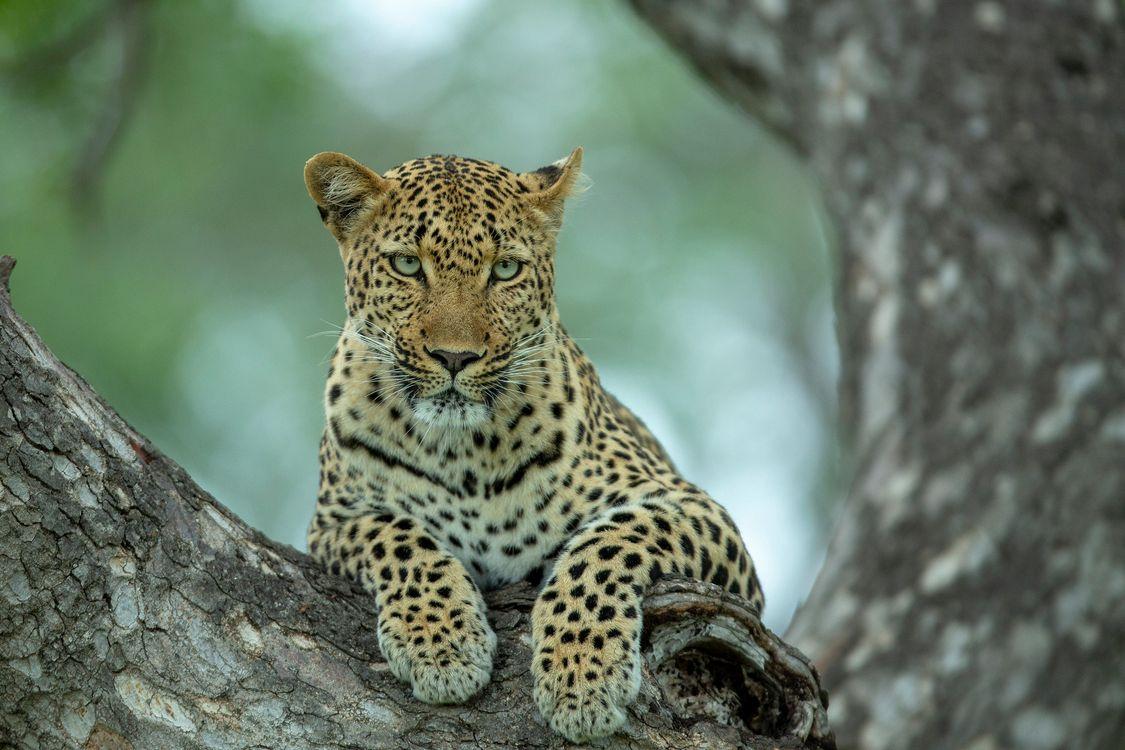 Обои леопард · бесплатное фото