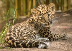 Котенок леопарда на тропинке