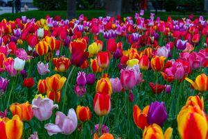 Поле с разноцветными тюльпанами