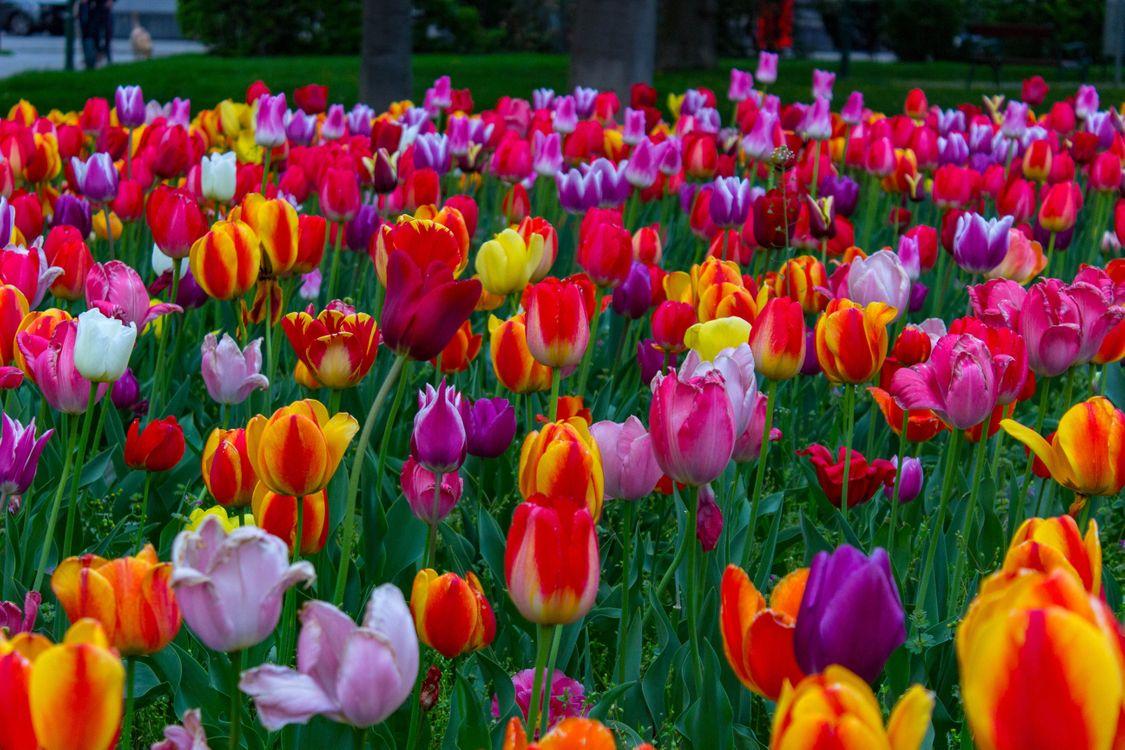 Поле с разноцветными тюльпанами · бесплатное фото