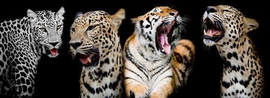 леопарды и тигр