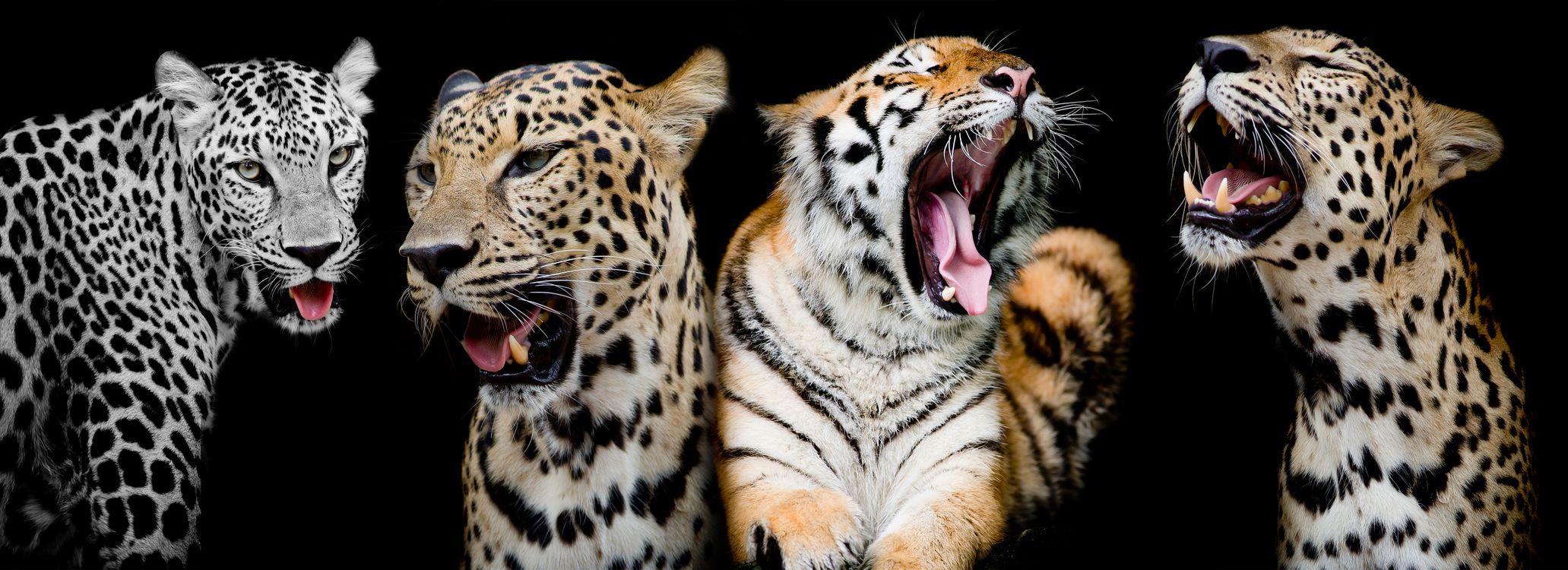 леопарды и тигр · бесплатная заставка