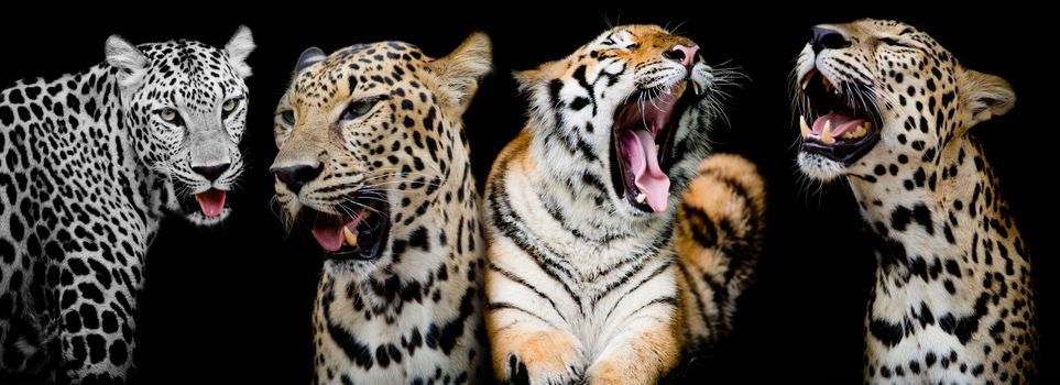 leopards and tiger · free photo