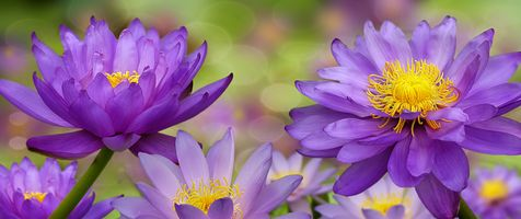 Большие бутоны цветка лотоса