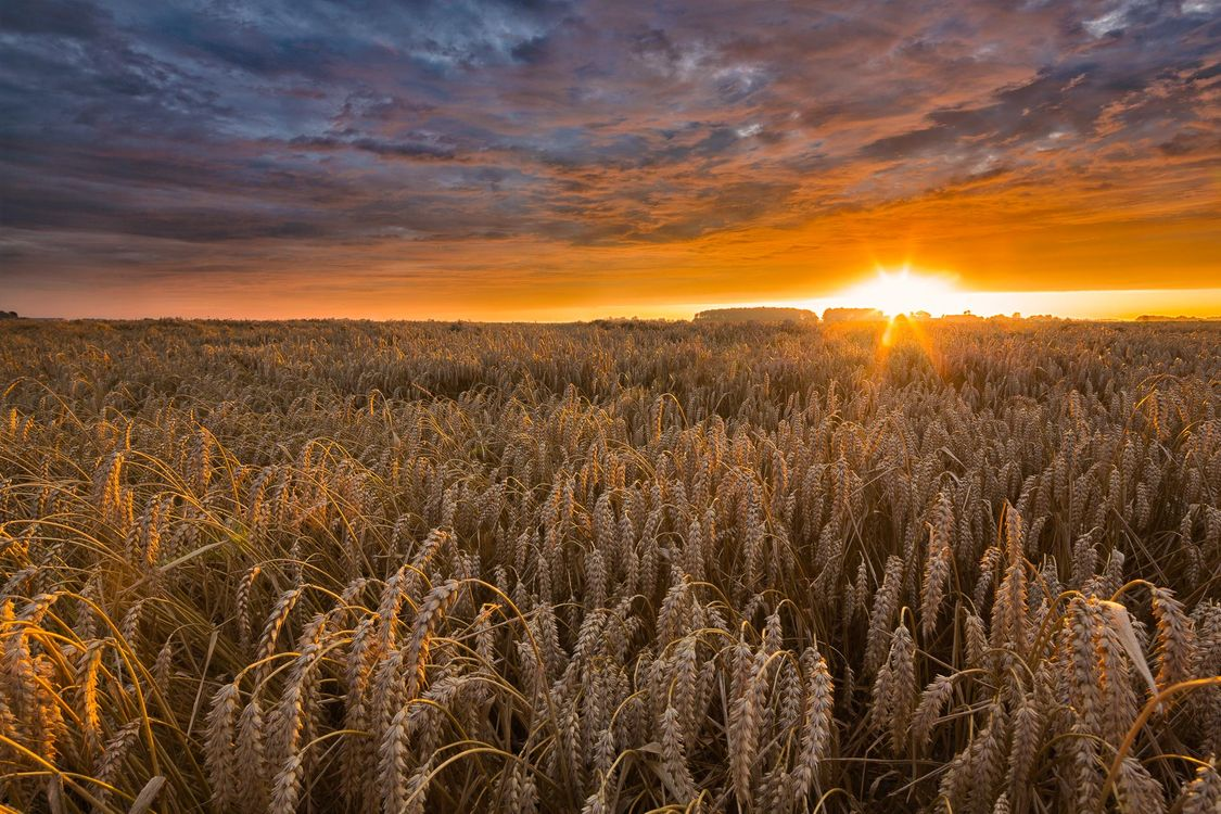 Фото бесплатно закат, поле, колосья, пейзаж, пейзажи