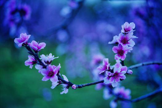 Photo free peach, flora, flowering