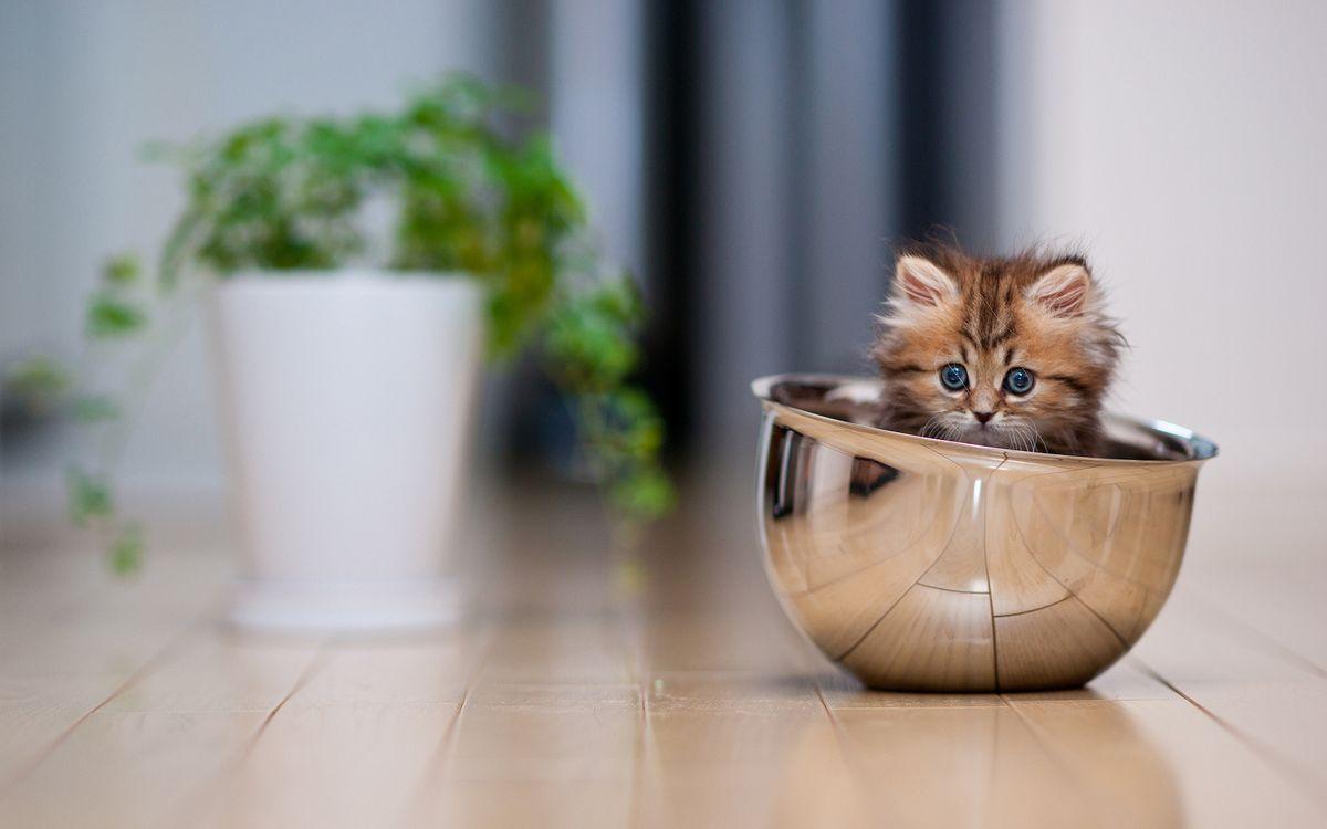 Фото бесплатно котенок, миска, пол - на рабочий стол