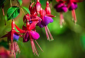 Заставки фуксий,цветок,фуксия,кустарник,зеленый,розовый,пурпурный