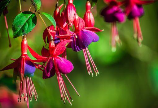 Заставки фуксий, цветок, фуксия