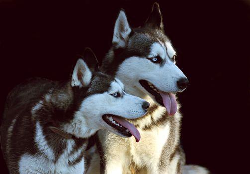 Фото бесплатно хаски, собаки, глядя